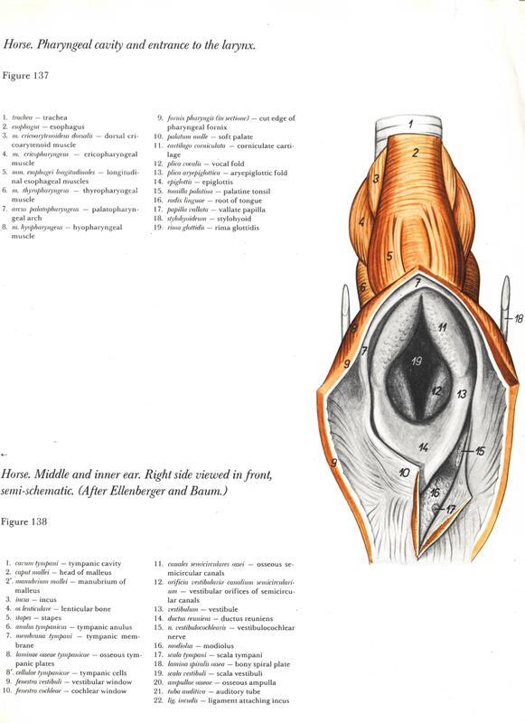 horse-cavalo-skull-anatomy-anatomia-cranio-maxilar-sinusal-sinuses-vetarq-muscle-musculatura-bone-osso-veias-arterias-dentição-equinos-eye-olho-glote-traqueia-esofago