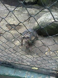 El mapache venezolano