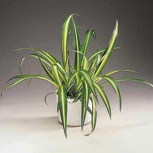 Полезное комнатное растение Хлорофитум.