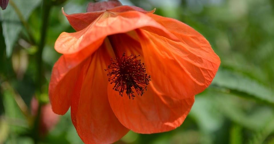 C mo cuidar al abutilon entre plantas y macetas - Como cuidar las plantas de exterior ...