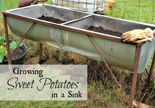 Growing sweet potatoes in a sink