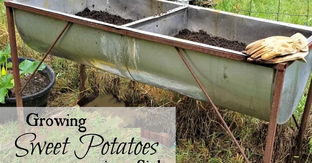 Growing Sweet Potatoes in a Sink