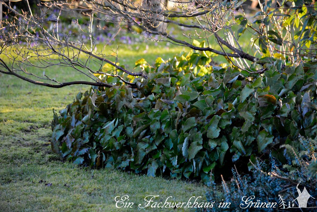 Elfenblumen im Fruehling schneiden