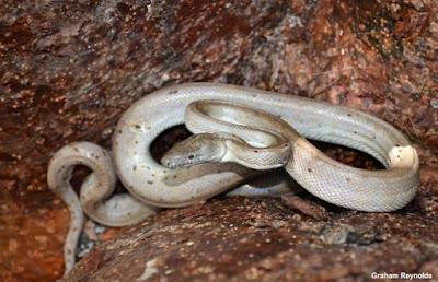 jiboia-de-prata, silver boa, Chilabothrus argentum, Conception Bank silver boa, nova espécie de cobra, nova espécie de serpente, cobras, snake, Bahamas, Caribe, Blog Natureza e Conservação, animal