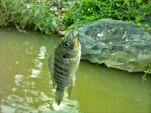 Gambar cara memancing ikan mujair dengan umpan cacing