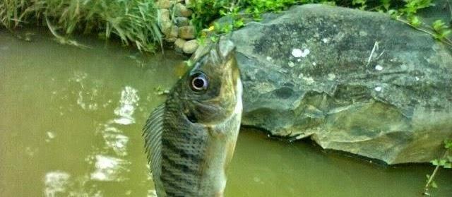 Cara Membuat Umpan Jitu Alami Ikan Mujair yang Paling Mudah