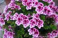 Pelargonia angielska, pelargonia wielkokwiatowa- Pelargonium grandiflorum