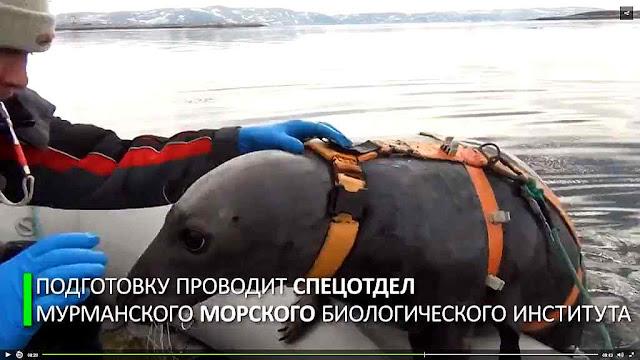 Foca sendo treinada na base naval russa de Murmansk