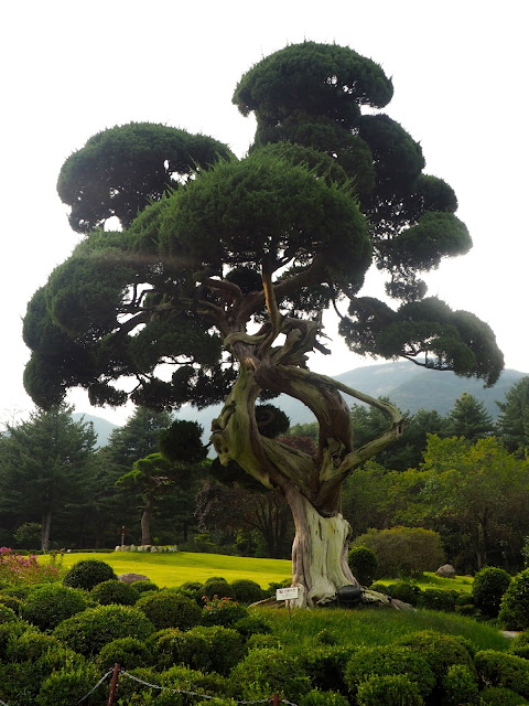 Millennium Juniper in the Garden of Morning Calm, Gyeonggi-do, South Korea