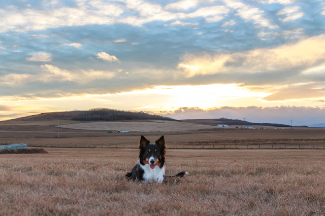 A border collie in front of an expansive Alberta skyline.
