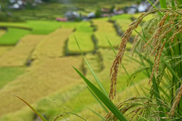Batad Rice Terraces Tinawon Golden Rice Ripened Stalks
