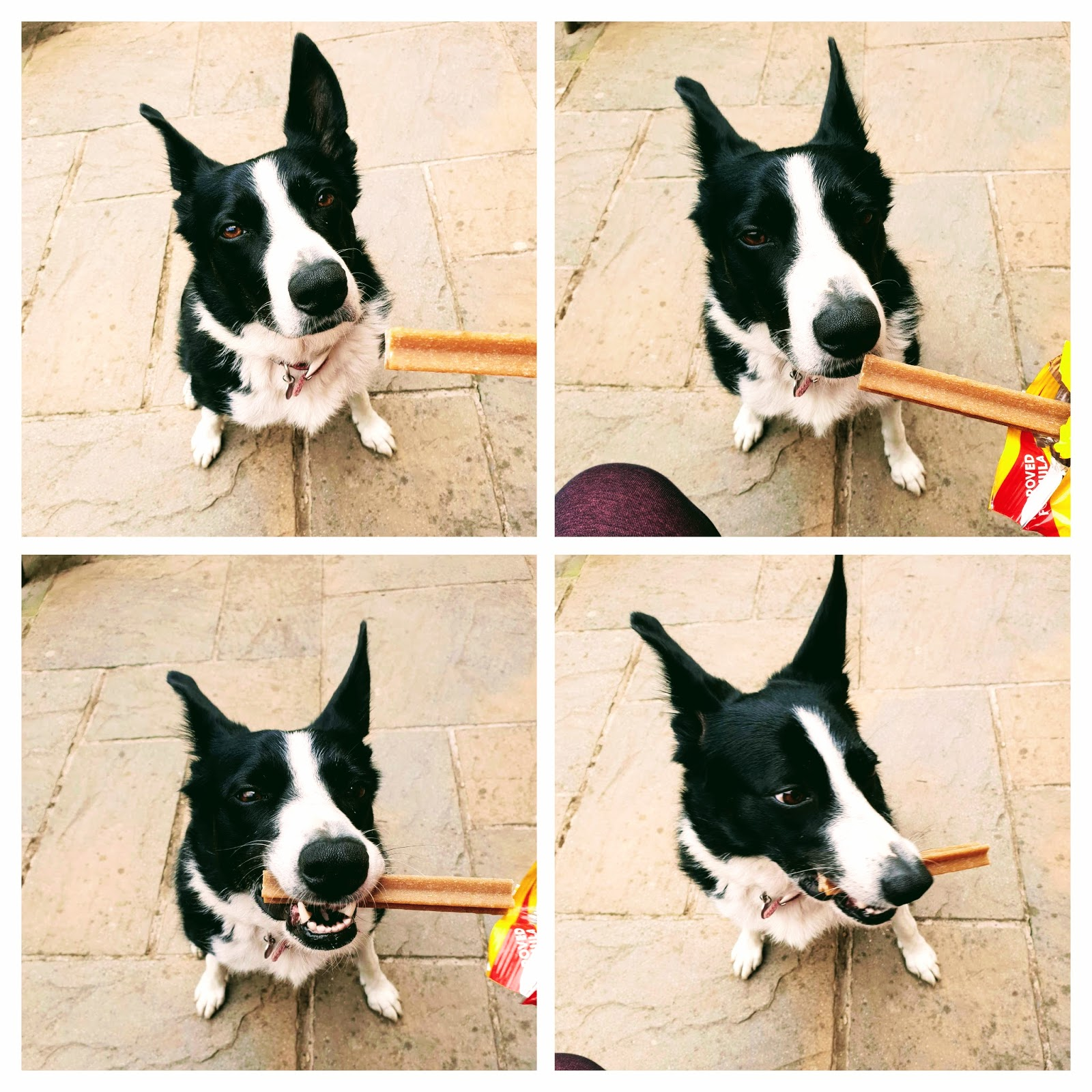 Mollie The Border Collie