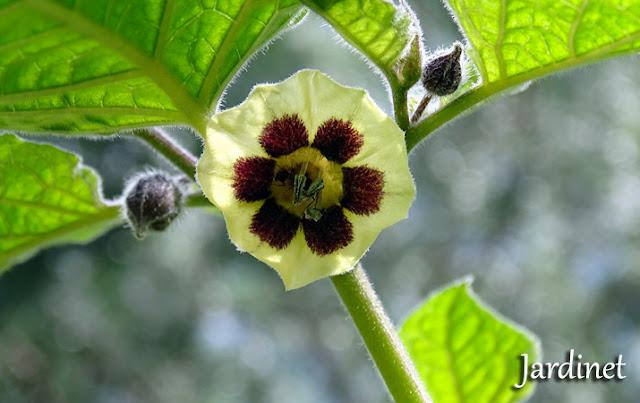 Floração, flores da physalis