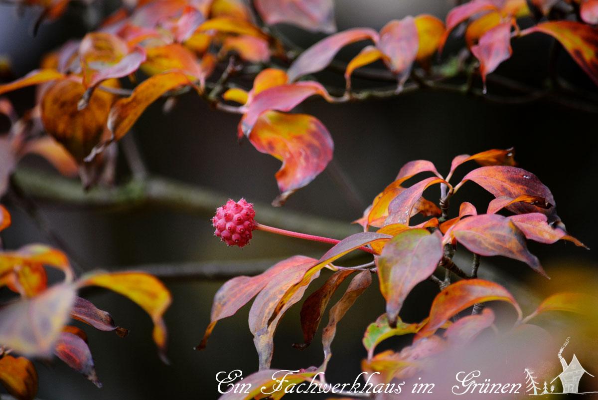 Blumenhartriegel, Cornus kousa