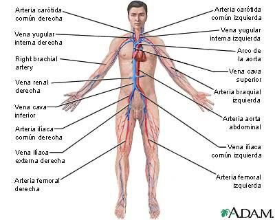 Datos curiosos sobre el sistema cardiovascular