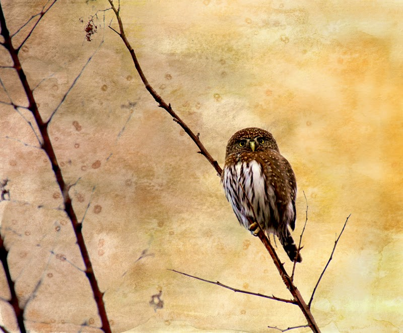 owls, northern pygmy owl