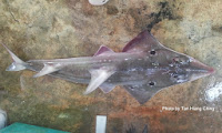 Eyebrow Wedgefish