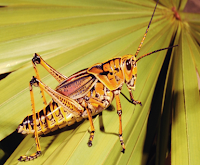 Grasshoppers Facts, Amazing Animals Grasshoppers Facts, Grasshoppers Facts Amazing Fact