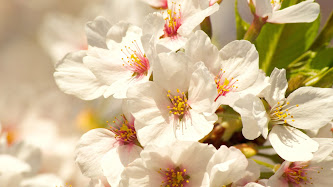 Wallpaper: Cherry Blossoms
