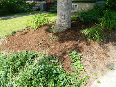 Little Italy Front Garden Cleanup after by Paul Jung Gardening Services Toronto