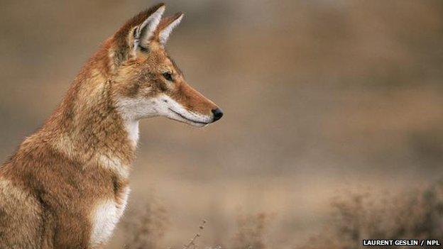 White Wolf : Rarest dog: Ethiopian wolves are genetically ...