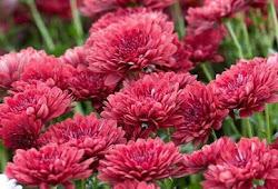 Wow Inilah 13 Jenis Bunga Krisan Dengan Bentuk Yang Berbeda Beda Ayo Berkebun