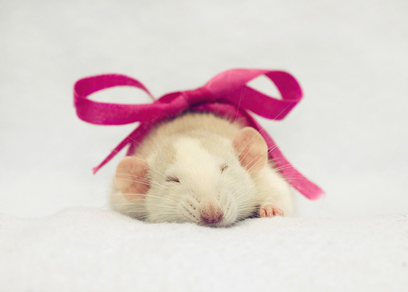 Imagen de rata con moño