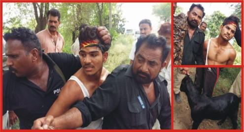 Bhalwal Police arrested an animal thief near skesar bar
