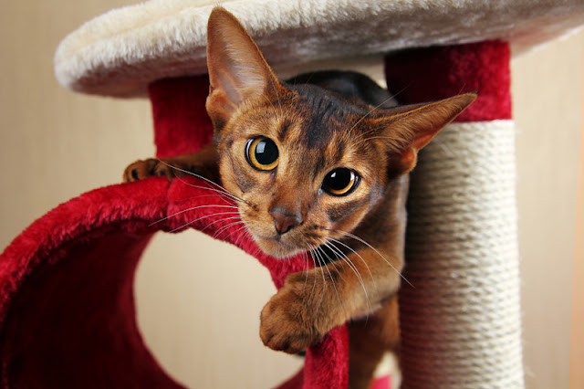 Enrichment tips for cats that many people miss. Photo shows Abyssinian cat playing in a cat tree