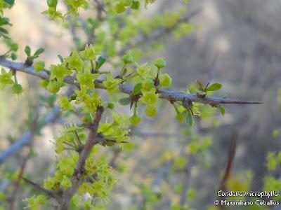 Piquillín Condalia microphylla