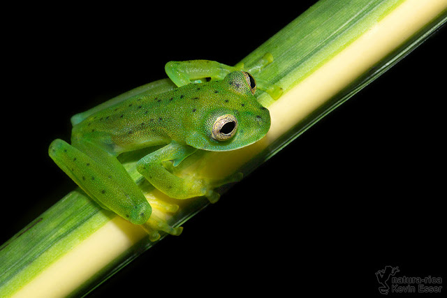 Emerald Glass Frog - Espadarana prosoblepon