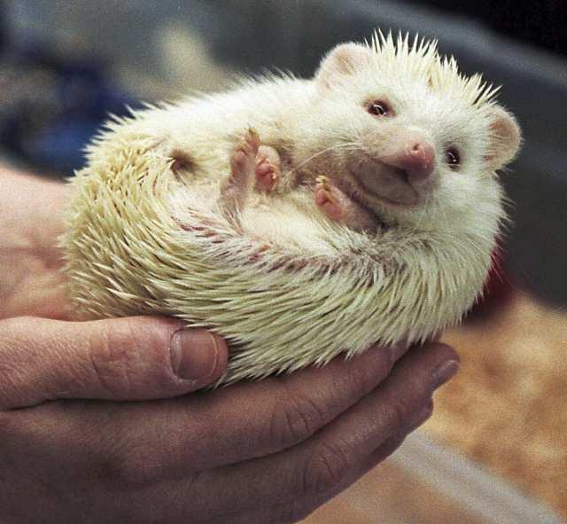 I Spy Animals: Hedgehogs as pets?