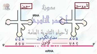 الحمض النووى الريبوزى الناقل - t.rna - مضاد الكودون -  الثالث الثانوى