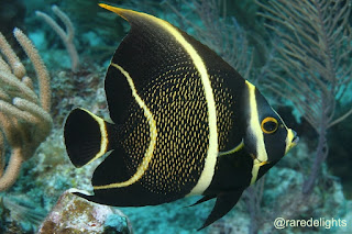 French Angelfish / Injel Prancis