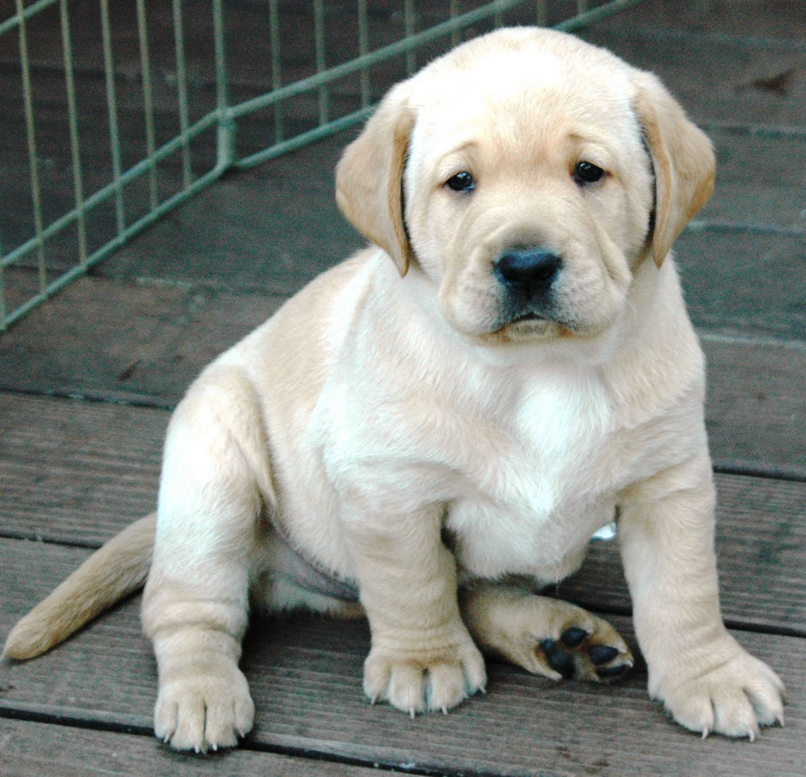 Yellow Lab Puppies With Blue Eyes | www.imgkid.com - The ...