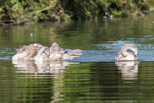 Mute Swan Cygnets on Grand Union Canal, Milton Keynes