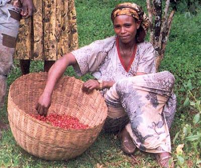 Picking coffee berries in Ethiopia