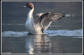 Northern Pintail at Bharatpur