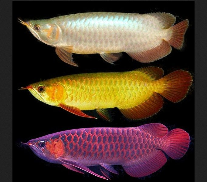 Ikan Arwana ( Scleropages sp )