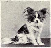 Old Papillon dog photo