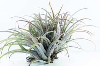 air-root-plant-tillandsia-capitata-white