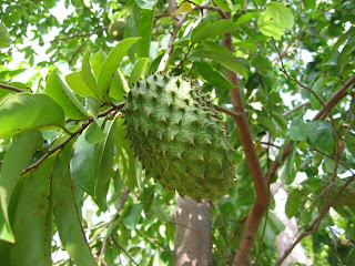 Kandungan dan manfaat buah dan daun Sirsak bagi tubuh Manfaat Buah Sirsak