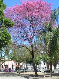 Lapacho rosado Tabebuia impetiginosa