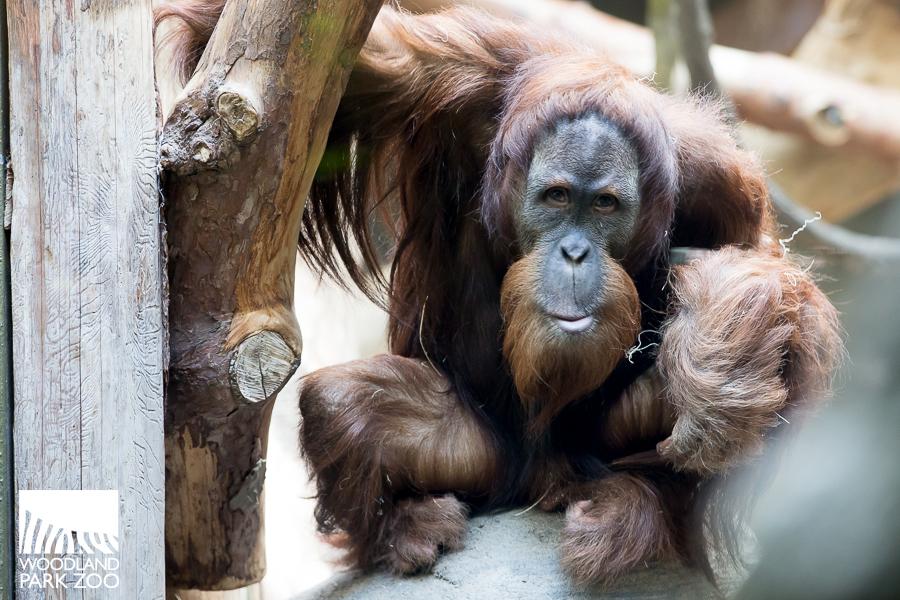 Godek orangutan