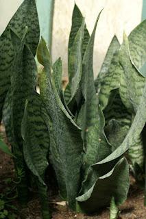 Sansevieria gracilis