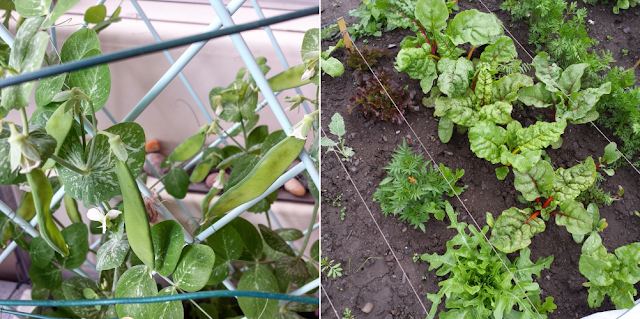 Sugar peas on the balcony and lots of leafy vegetables in our allotment garden
