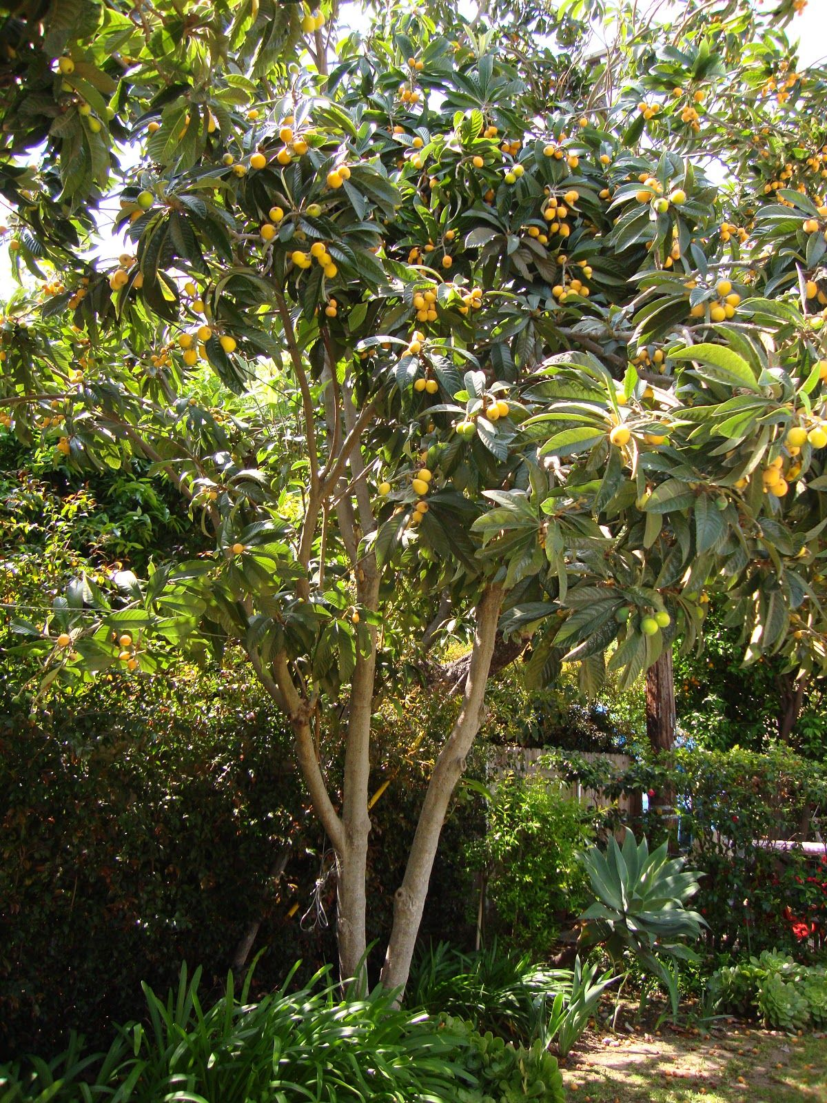 How To Grow Loquat, Growing Loquat Tree From Seed