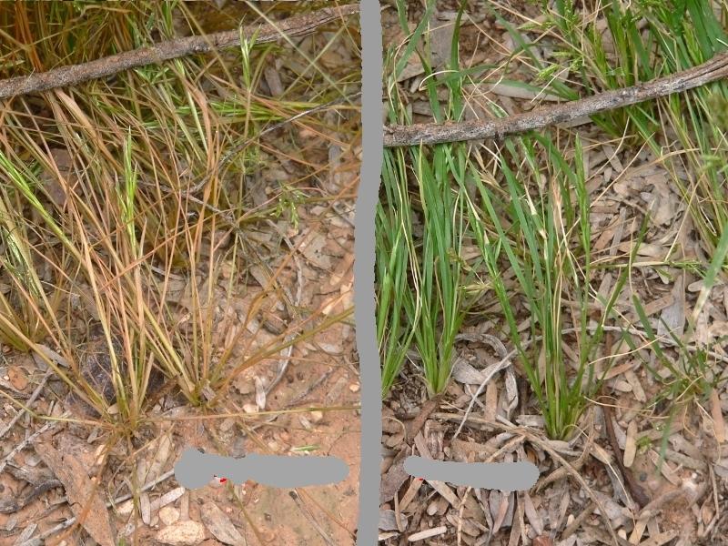 Lazy Gardening: SMACKDOWN: Vinegar vs Glyphosate for Weed