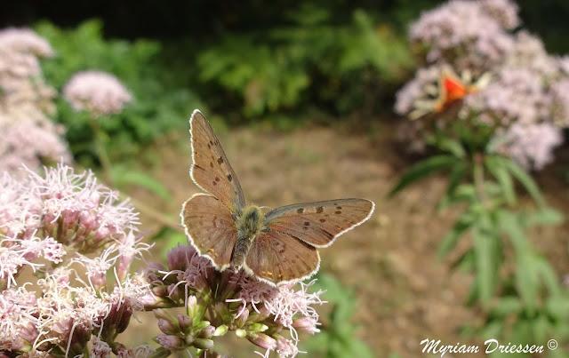 papillon azuré femelle Montagne Noire Tarn