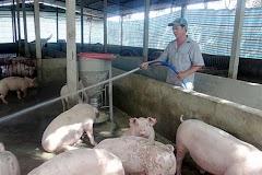 Giá heo (lợn) hơi hôm nay 26/2: Đầu năm giá lợn hơi ở miền Bắc khởi sắc